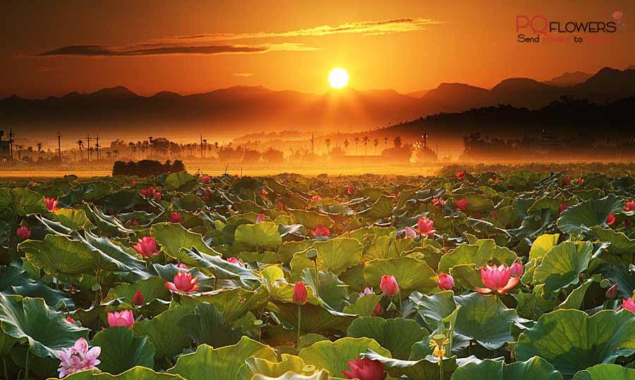 Lotus Flower - The national flower of Vietnam 230321-00