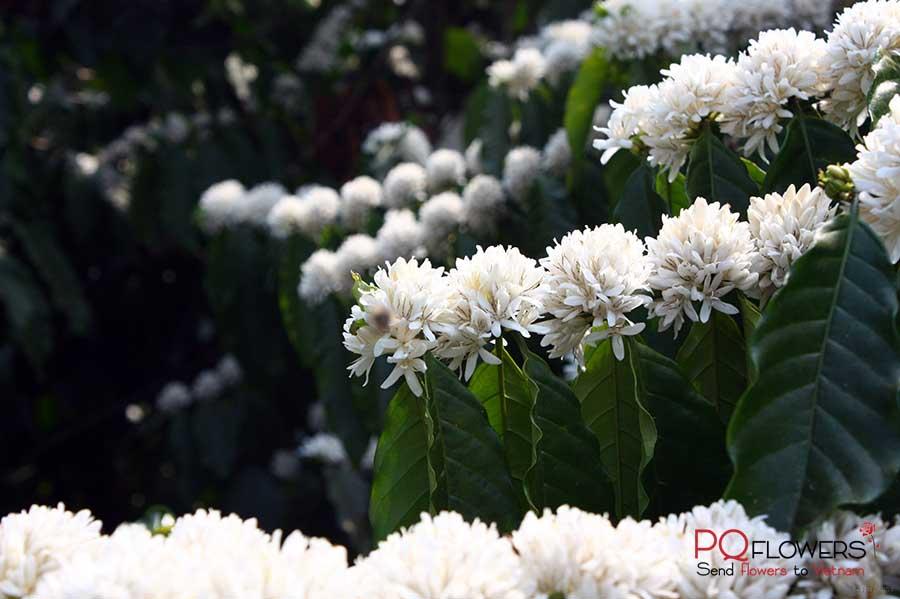 coffee flowers bloom - 270321-00