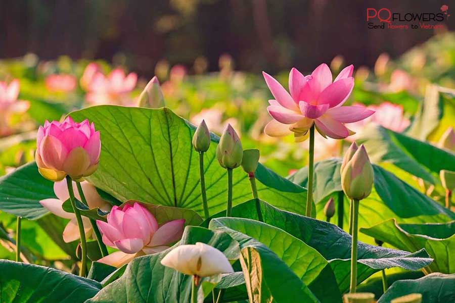 lotus-flower-delivery-300321-00