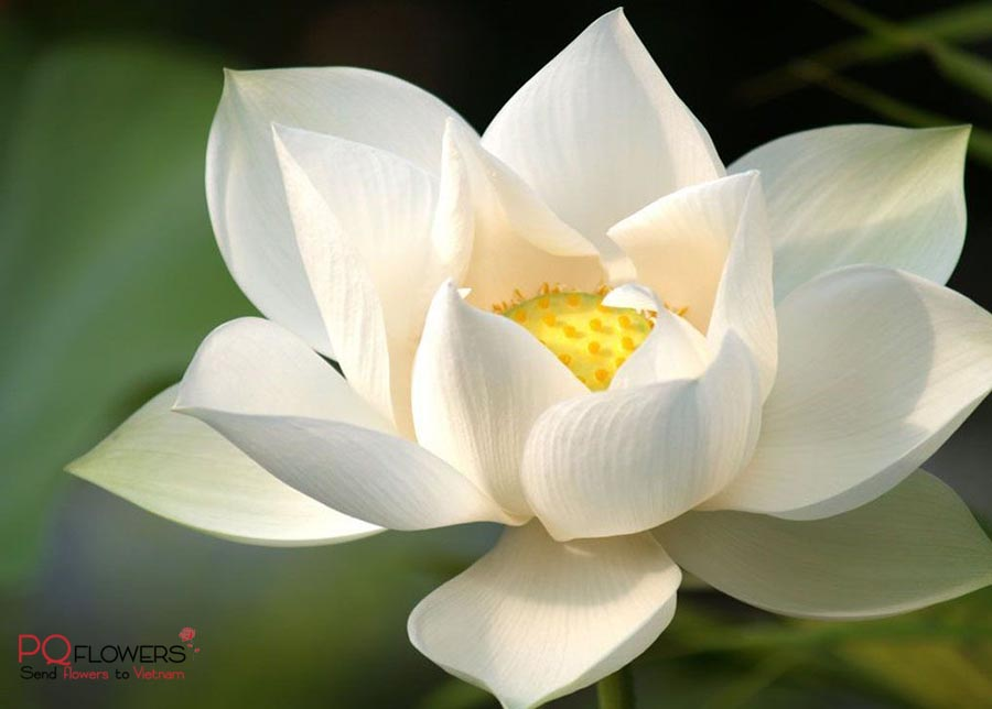 lotus-flower-delivery-300321-07