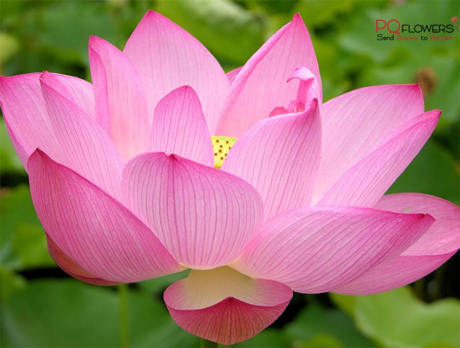 lotus-flower-delivery-300321-09